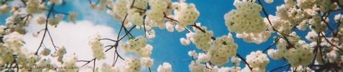 Blue-sky-and-cherry-blossom